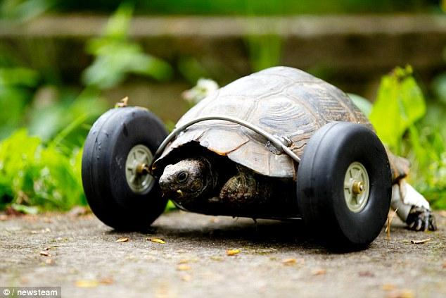 T小姐是只100岁的乌龟,她的两只前脚在冬眠的时候,不幸被老鼠给咬掉。然而,这可并不代表她从此无法步行,因为她的主人给了她一双「飞轮」,让她现在还能比以前冲得更快。