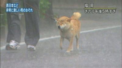 12隻就算天塌下來或世界末日也堅持要出去散步的鋼鐵柴犬!