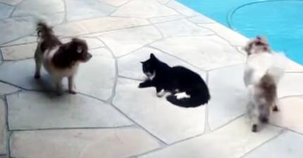這兩隻小狗不斷地騷擾貓咪,但狗狗最後卻需要主人趕緊放下手機出手相救...!