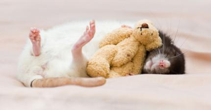 18張超萌小老鼠照片證明他們也可以跟貓狗一樣當最忠心可愛的寵物!