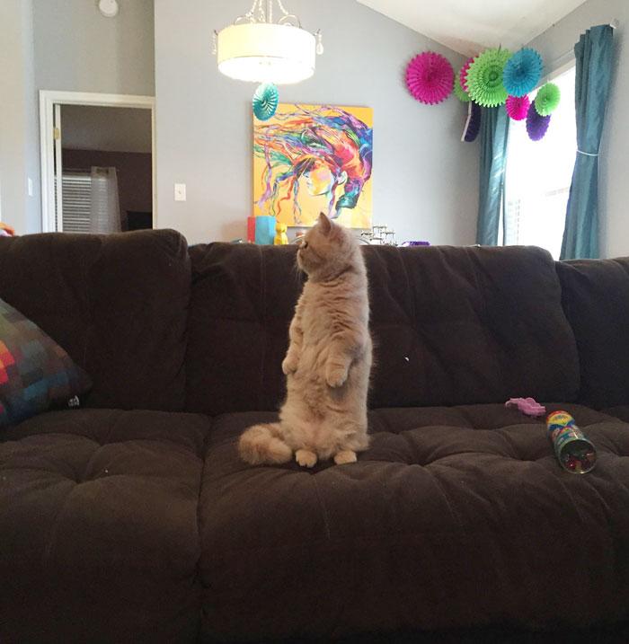 這隻明明有4隻腳但只會用後腳站立的貓咪是上天賜給我們的超萌禮物。
