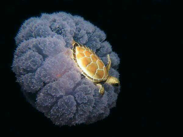 A tiny sea turtle hitches a ride on a jellyfish.