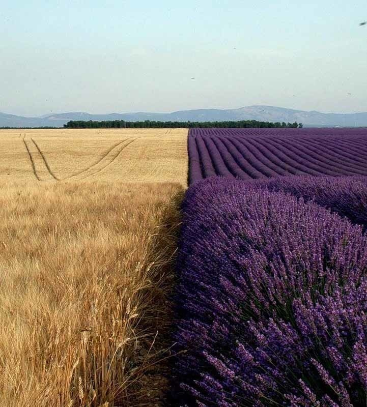 Lavender and wheat fields, side by side.