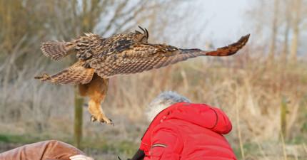 這隻雕鴞一看到人頭就會俯衝過去,接下來的可愛舉動卻吸引大批遊客前來朝聖。