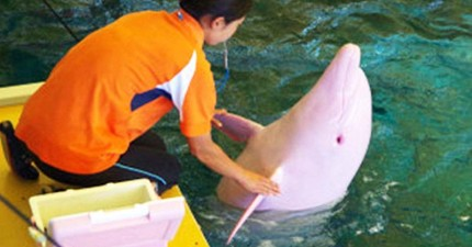 這隻粉紅色海豚絕對沒有被PS過,而是「情緒」來了就變色!