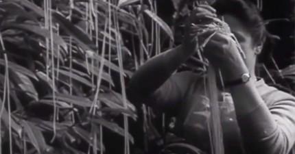 這個1957年傳奇的騙局影片介紹了新品種「義大利麵樹」。看完影片後我也真的相信了...