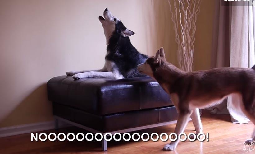 這下你終於能聽懂狗狗吵架都在吵什麼,字幕完美翻譯狗語了!