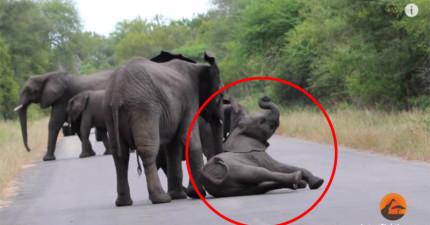 親人永遠不離不棄!看這隻小象跌倒爬不起來親人的反應就知道!