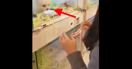 當他們到寵物店玻璃門被打開時,這隻小博美寶寶做的事情讓他們再也走不了了!