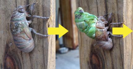 這名網友正好撞見金蟬脫殼,花了3小時連後頭的絕美展翅都清楚記錄下來!
