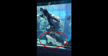 當這條鯊魚游向水族館清潔人員時我快叫出來了,但結果這一幕改變了我對鯊魚的看法。