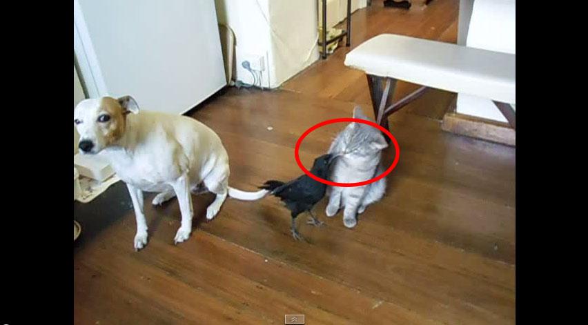 主人給寵物烏鴉吃東西,但烏鴉卻不停的把食物...放到狗狗和貓咪的嘴巴裡?!
