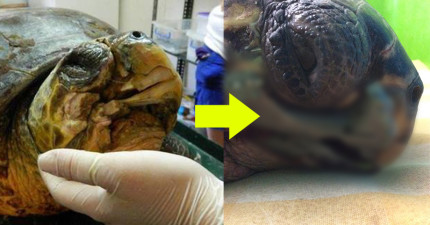 這隻海龜的嘴被船隻打傷恐怕會死亡,但他們用3D列印讓他變成鋼鐵人的超帥搭檔!