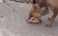 這些人給了這隻核災禁區的狐狸幾片麵包和肉片,沒想到他居然開始疊出一個完整的三明治!