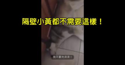 媽媽要狗兒子去洗澡,結果狗狗狂回嘴搬出一大堆藉口就是不想要去洗澡。(內有狗狗語言翻譯)