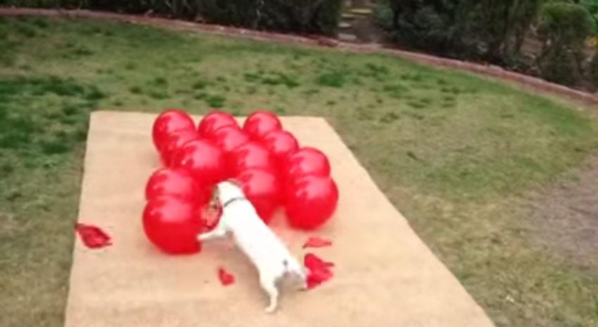 這隻狗寶寶對氣球做的事情會提醒你「快樂」到底看起來像是什麼樣子。