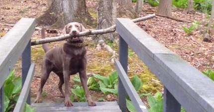 這隻狗狗嘴裡咬了一大根樹枝被卡住無法前進輕聲哭泣,最後找到解法時我也為他鼓掌!
