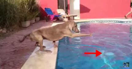 狗狗的飛盤不小心掉到泳池裡了,看到他努力拿回來的樣子會讓你也超想要幫忙!
