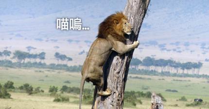 堂堂草原獅王卻像小貓嚇壞跳上樹抱著,背後整段爆笑故事都被完整拍下!