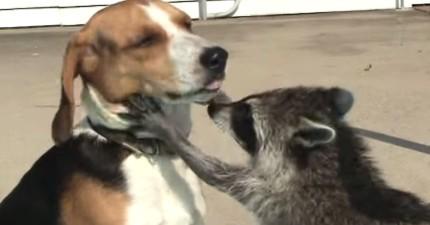 這隻小浣熊上輩子一定是個牙醫...他積極又耐心地幫狗狗看牙齒的模樣真的太專業了!