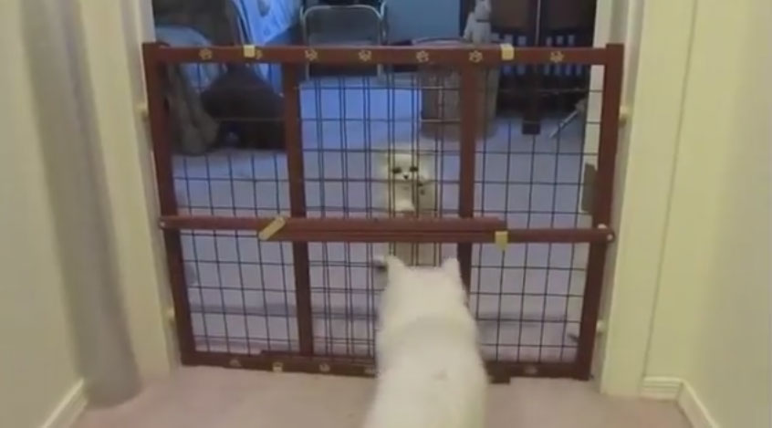 貓媽媽教寶寶爬家裡柵欄,教會後的獎勵可愛到我想在地上打滾!