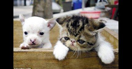中國一位伯伯將這隻母貓和朋友的公貓配種,5胞胎裡頭第一隻出生的居然是...吉娃娃?
