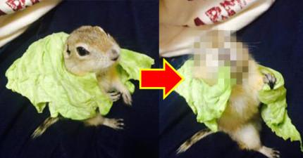 主人把一片高麗菜葉給地松鼠,結果被他變成披風還露出超滿足的表情!