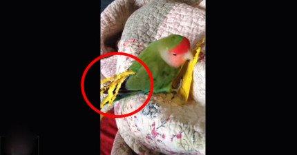 很多人都發現到他們的寵物鸚鵡會拿紙做一件超奇妙的事情,鳥類真的比我們想像聰明多了!