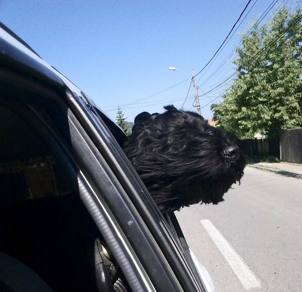 Black Russian Terrier In The Wind