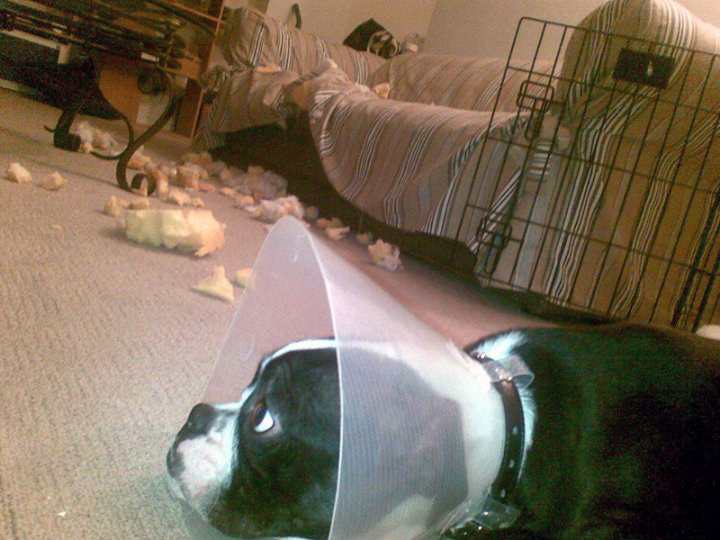The dog who exacted revenge for her cone of shame.