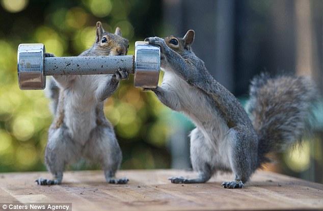 這個天才攝影師在後院設計了小圈套,沒想到竟讓他拍下這些驚奇的松鼠舉2KG啞鈴的照片!