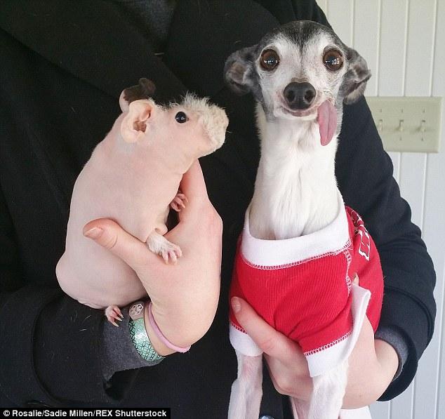 這隻狗狗因先天問題而一直「: P」,卻也因此被大眾狂愛分享!