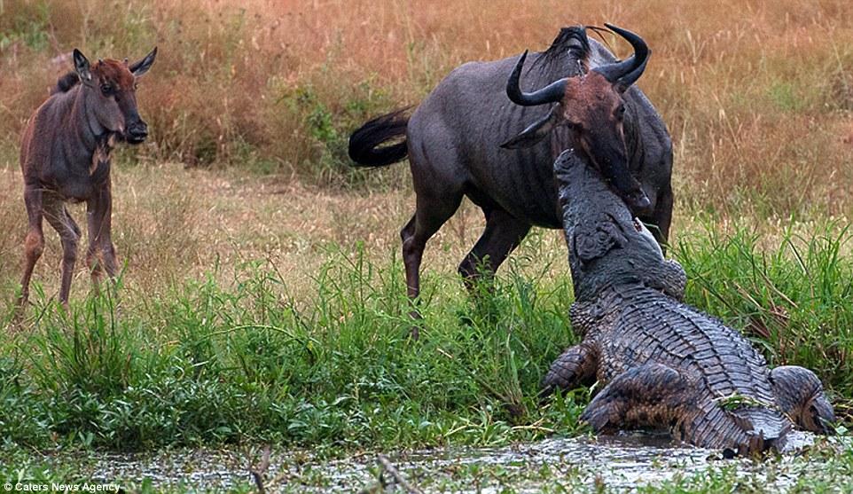 下回你想抱怨「今天很衰」的時候,就想想這隻牛羚吧!幾個畫面看到野外的悲慘世界