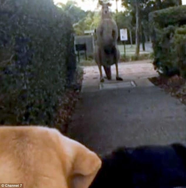 一名澳洲女士在溜狗時,轉彎迎面碰上了這位200公分高渾身肌肉的鄰居。