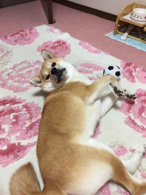 這個主人每天早上都會需要叫這隻超懶柴犬起床,這是他每天早上拍到的景象。