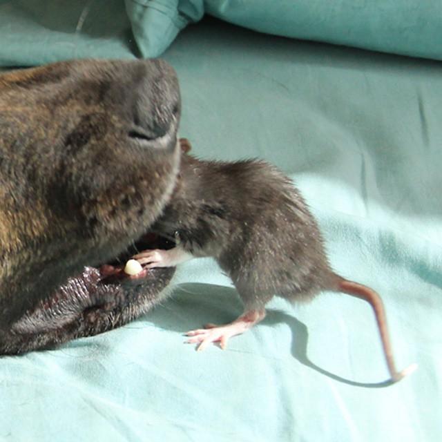 眼看這隻狗狗就要把小老鼠給吃掉了...等等,原來在幫他清潔牙齒啊!