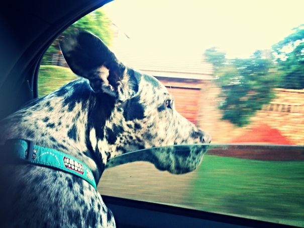 Hemlock. Greatdane.best Driving Companion A Girl Could Ask For.