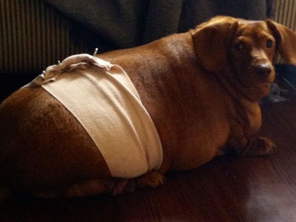 前主人錯誤餵食讓他一度胖到破紀錄,最後遇到好主人才成功甩掉20公斤肉變回可愛小臘腸。