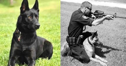 當這名警員就要被3名歹徒割喉嚨棄屍時,忽然衝出的「蝙蝠俠警犬」扭轉了他的命運!