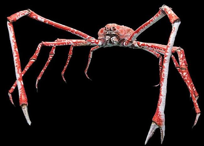 Japanese Spider Crab.