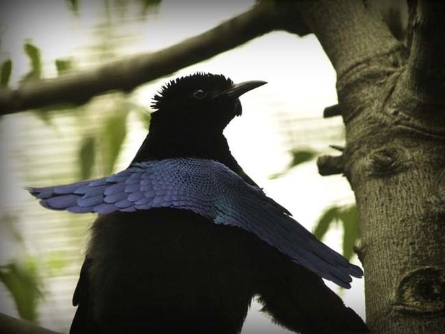 Superb Bird Of Paradise.