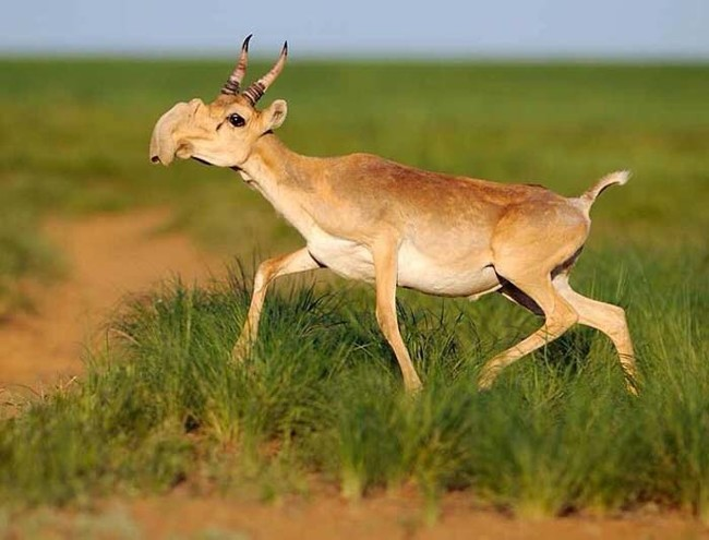 Saiga Antelope.