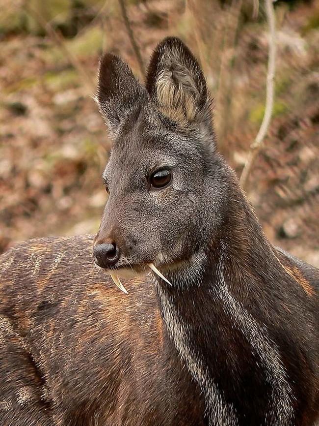 Musk Deer.