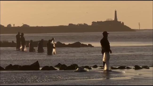 巴西的漁民120年來都跟海豚溝通同心協力捕魚給人類吃。
