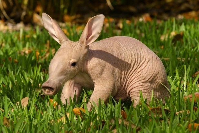 This aardvark is still kinda creepy as a little one...but in a cute way?