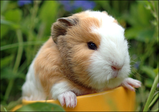 Can you imagine the little squeaks that come outta this young guinea pig?