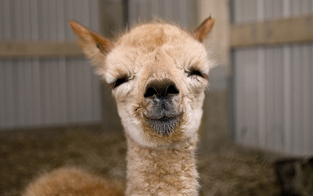 Excuse me...I'm going to need a moment of silence while I mourn the tiny part of me that died of happiness when I saw this cute baby llama. R.I.P.