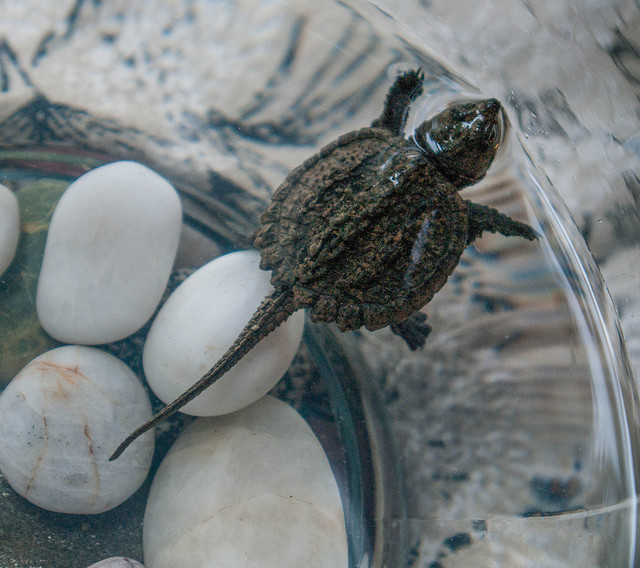 When this snapping turtle grows up, he'll be just under two feet long, and will be able to chomp off your entire arm if you're not careful.