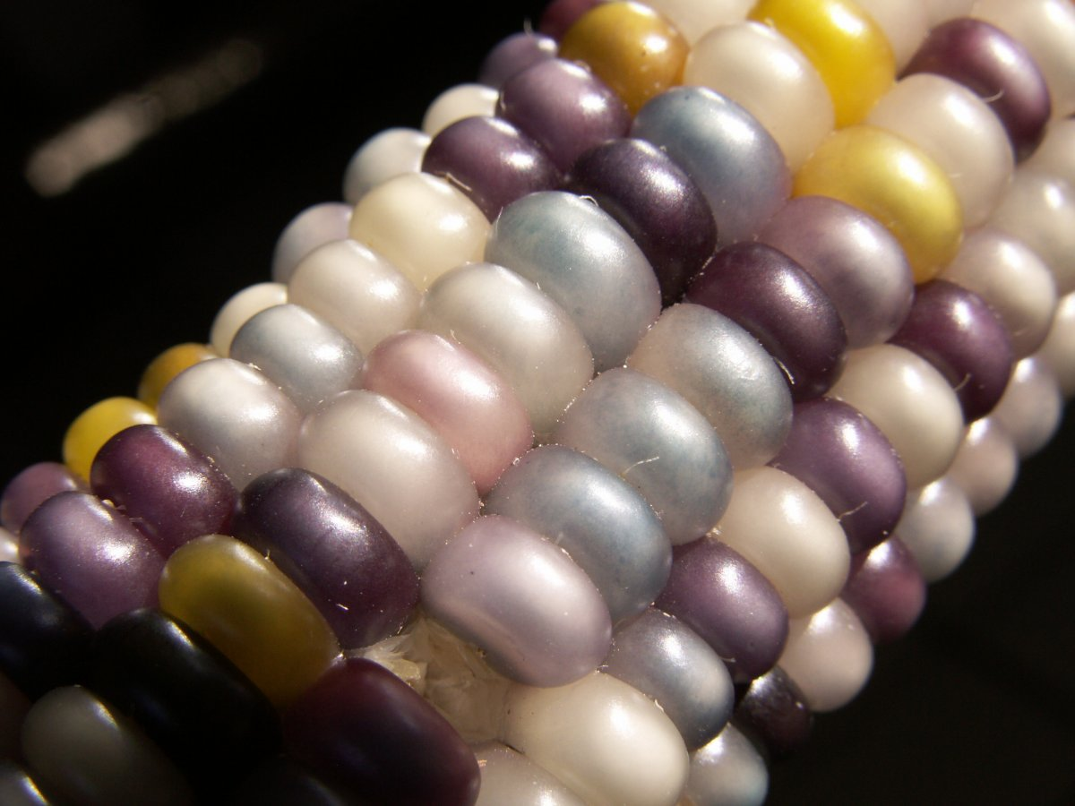 For example, if you wanted mostly lavender-kerneled corn, it would be possible to save and replant seed from purple corns.