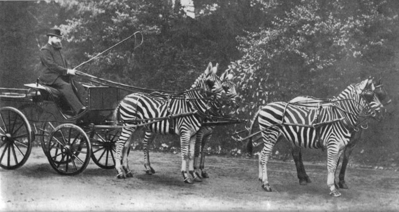Zoologist Walter Rothschild riding his zebra carriage to Buckingham Palace to prove zebras were tamed animals.